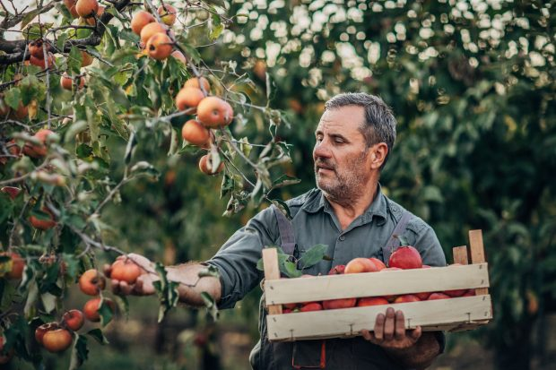Man picking apples in an orchard