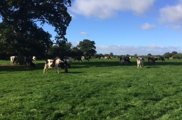My-cows-at-grass-1.jpg